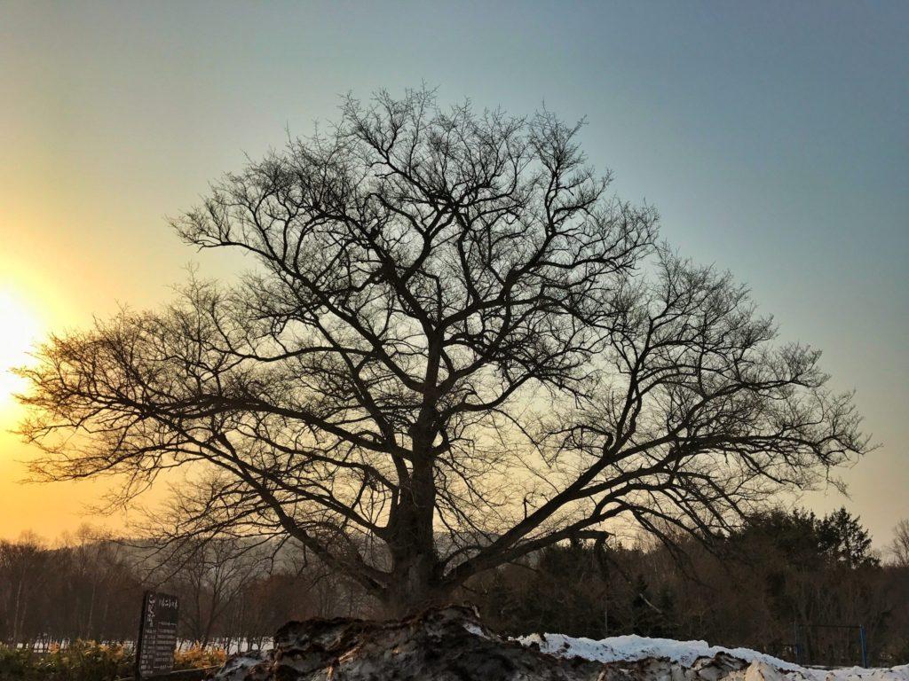 豊富温泉 ハルニレの木